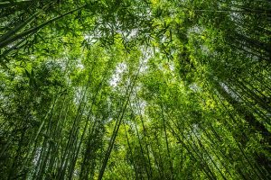 Rustgevende bamboo